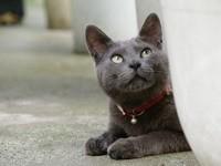 Породистый котик с ошейником