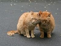 Пара рыжих котов