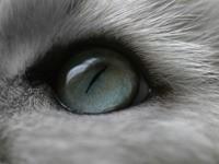 Серый глаз кота