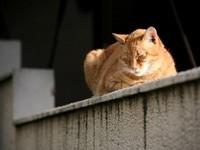 Сон рыжего кота на заборе