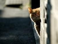 Кот подглядывает из-за угла