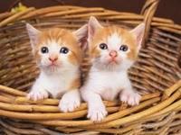 Пара рыженьких котят в плетеной корзине