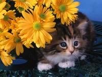 Котенок спрятался за желтыми цветами