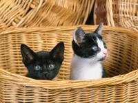 Двое котят спрятались в плетеную корзину