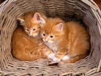 Два рыжих котенка в плетеной корзине