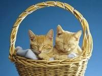 Пара кошек спит в плетеной корзине