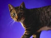 Серьезный взгляд кота
