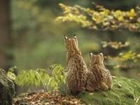 Пумы сидят на камне и наблюдают