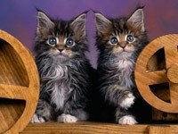 Котятки близнецы