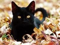 Черный кот в осенних листьях
