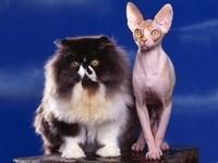 Пушистая и бесшерстная кошки
