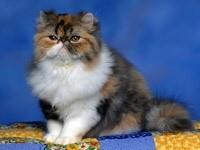Пушистый породистый кот