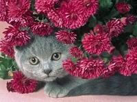 Кот спрятался в хризантемах
