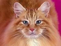 Серьезная мордочка пушистой кошки