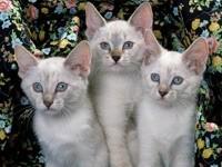 Три белые кошки
