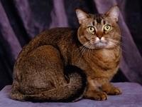 Темно-коричневый кот