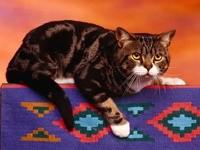 Коричнево-черный кот