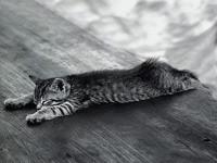 Серый котенок просто устал