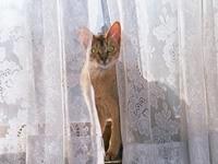 Кошка выглядывает из-за гардины