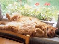 Рыжий кот спит на подоконнике