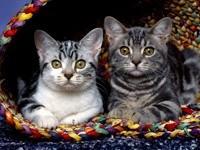 Два серых кота