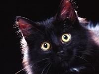 Мордочка черного котика