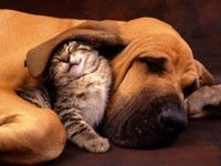 Котенок трется об ухо собаки