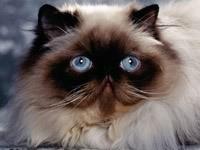 Персидская мордочка кота