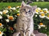 Серый котенок в ромашках