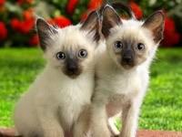 Два сиамских котенка