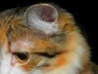 Кошачье ухо
