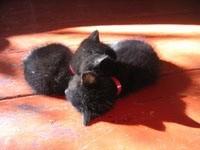 Двое черных котят спят