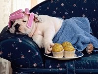 Бульдог на диване  с кексами и бигуди