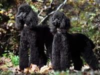 Два черных  пуделя