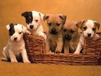 Пятеро щенков в корзине