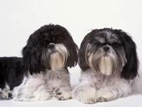 Пара собак шит - су