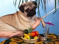 Мопс с гамаке и стол с фруктами