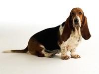Бассент хаунд - собака