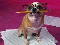 Чихуахуа в очках и с карандашом