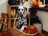 Далматинец в корзине с осенними листьями