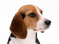 Морда собаки породы  Бигль