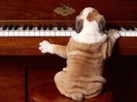 Бульдог играет на пианино