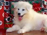 Белая лайка с новогодними подарками