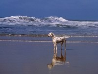 Далматинец на берегу моря