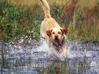 Лабрадор, бегущий по воде