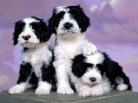Эшлин тибетский терьер три щенка