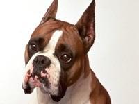 Морда собаки боксера