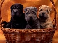 Трое щенков шар-пея в плетеной корзине