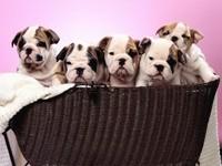 Пятеро щенков бульдога в корзине