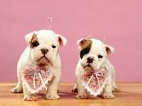 Двое щенков бульдога  с сердечками